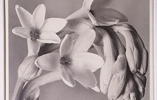 In Search Of: Imogen Cunningham Tuberose